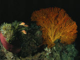 Pink Amemonefish Swimming Around an Anemone and Sea Fan