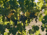 Clusters of Grapes Hanging from Vines in a California Vineyard