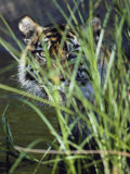 A Tiger Peers out from Behind a Bunch of Grass