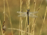 Dragonfly Perched on a Blade of Tan Grass