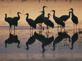 Silhouetted Greater Sandhill Cranes in the Water