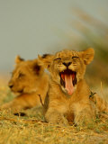 An African Lion Cub Yawns While Resting