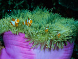 Western Clown Anemonefish Make Their Home Among the Tentacles of a Magnificent Sea Anemone