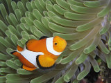 A Clown Anemonefish Amid the Stinging Tentacles of a Sea Anemone