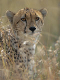 A Cheetah Hides in the Brush