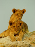 Two Lion Cubs Watch the Action from the Sidelines