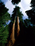 Giant Sequoia Trees Looking Skyward