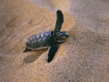 A Green Turtle Hatchling Struggling from its Nest in the Sand