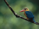 A Colorful Stork-Billed Kingfisher  Pelargopsis Capensis