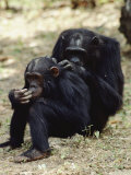 Two of the Many Chimpanzees Studied by Jane Goodall at Gombe Stream National Park
