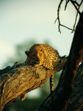 A Leopard Rests on a Large Tree Branch