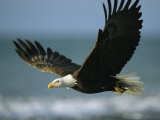 An American Bald Eagle in Flight over Water with a Fish in its Talons