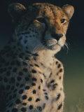 A Portrait of an African Cheetah