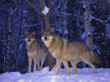 Gray Wolves in the New-Fallen Snow at the International Wolf Center