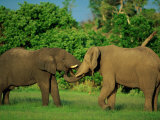 Two African Elephants with Their Damp Trunks in Each Others Mouths