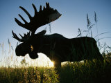 A Moose Stands in Bluejoint Grass at Sunset
