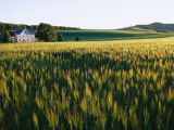 Wheatfields Glowing in the Sun and a Farmhouse in the Distance