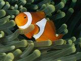 A Close-View Photograph of a False Clown Anemonefish