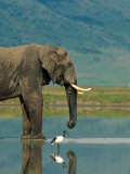 With a Sacred Ibis Beside Him  an African Elephant Drinks from a Pond