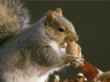 An Eastern Gray Squirrel Eats a Walnut