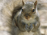 A Gray Squirrel Holds a Seed it is Feeding on in its Front Paws