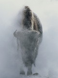 Ghostly Bison in Steam During Winter  Yellowstone National Park