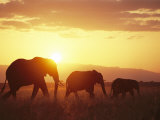 A Family of African Elephants Walk at Twilight