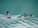 A Family of Merganser Ducks Swim in a Lake