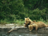Brown Bear Cubs Resting on a River Bank