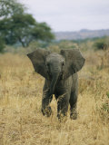 A Juvenile African Elephant Takes a Walk
