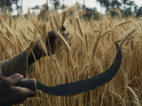 Close-up of the Hands of an Egyptian Farmer Harvesting Wheat with a Serrated Sickle
