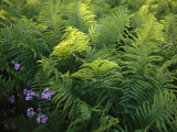 Ferns and Wild Phlox Near the Susquehanna River