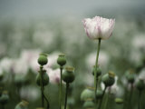 A Close View of Opium Poppy Flowers