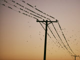 Silhouetted against a Twilight Sky  a Flock of Birds Rests on Telephone Wires