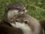 Pair of Mated Asian Short-Clawed River Otters Show Affection Papier Photo par Nicole Duplaix