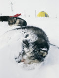 Huskies Curl up for a Nap in the Snow
