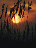 Seagrass Silhouetted at Sunset