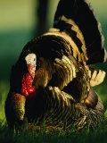 Close View of a Wild Turkey