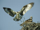 Osprey Landing in its Nest near its Partner