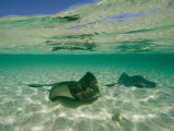 Aquatic Split-Level View of Two Southern Stingrays in Clear Water