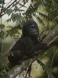 A Portrait of an Orphaned Gorilla Living at a Gorilla Sanctuary