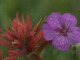 Indian Paintbrush and Wild Geranium (Right)