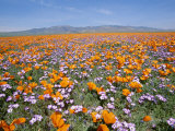 California Poppies and Other Wildflowers Fill a Scenic Landscape