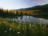 Daisies Grow Near a Lake in Yoho National Park
