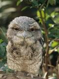 Tawny Frogmouth Bird