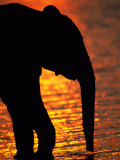 African Elephant Silhouetted at a Water Hole
