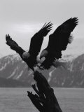 Two Bald Eagles Fight Each Other for Food