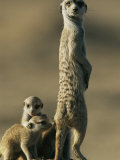A Meerkat Stands with Her Young at Her Feet