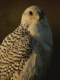 Gyrfalcon (Falco Rusticolus) in its White Phase