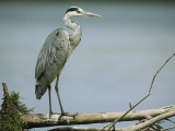 Graceful Gray Heron Standing on a Log